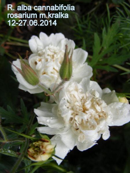 R X alba cannabifolia