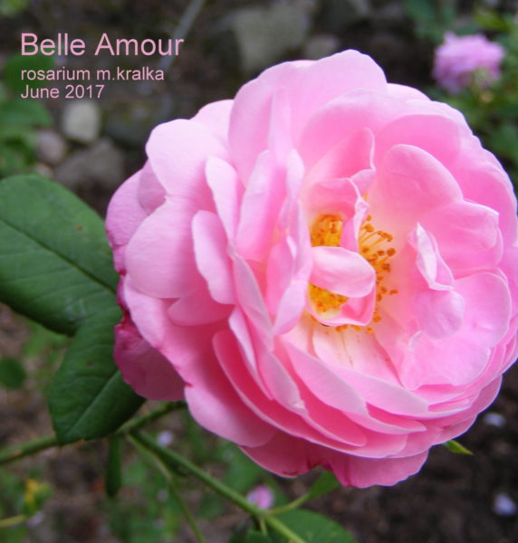 Belle Amour