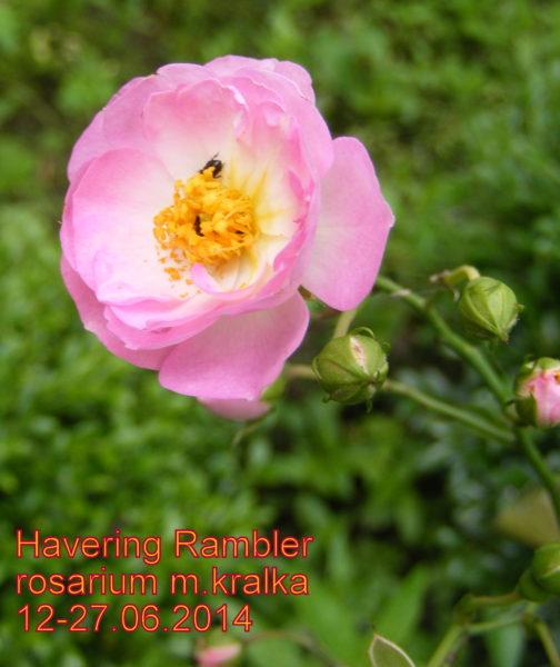 Havering Rambler