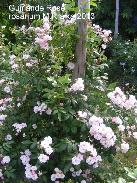 Guirlande de Rose