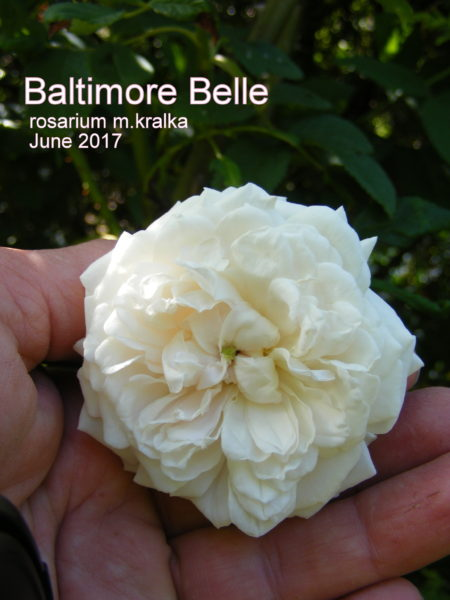 Baltimore Belle