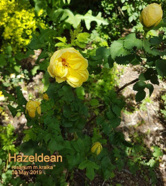 Hazeldean