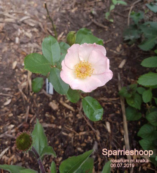 Sparrieshoop