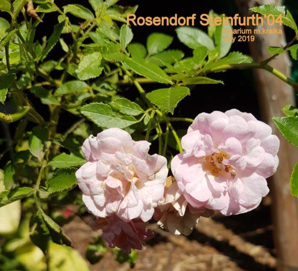 Rosendorf Steinfurth'04