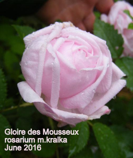 Gloire des Mousseux