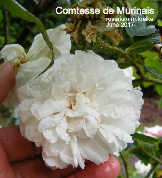Comtesse de Murinais