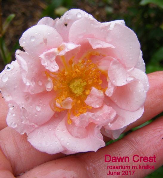 Dawn Crest