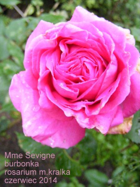 Mme Sevigne
