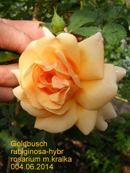 Goldbush