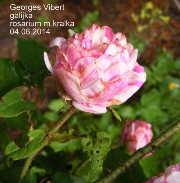 Georges Vibert