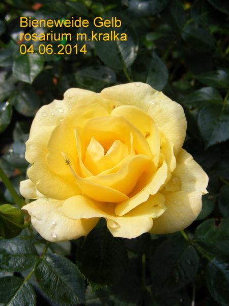 Bienenweide Gelb