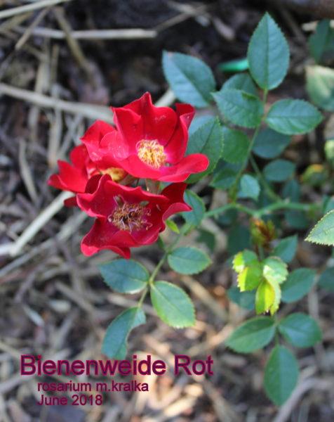 Bienenweide Rot