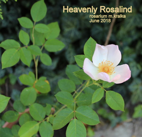 Heavenly Rosalind